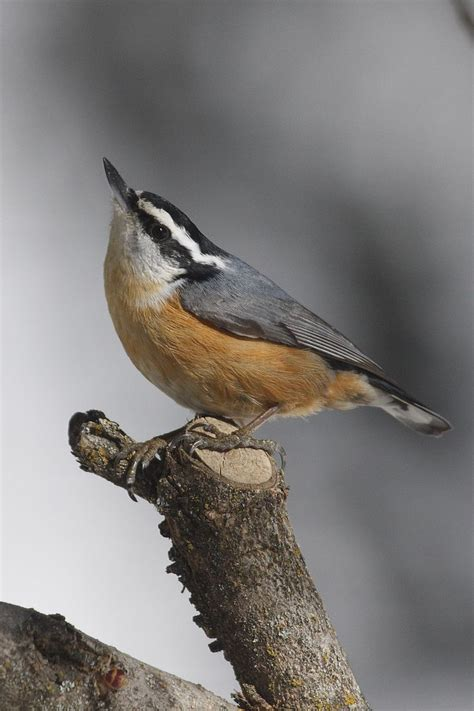 backyard birder red breasted nuthatch birds pinterest