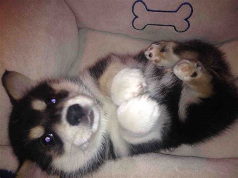 how big do husky pomeranian mix get the 8 cutest breeds that existed you can t resist this amount of