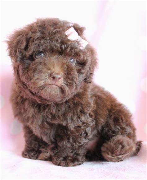 chocolate poodle puppy chocolate poodle poodles