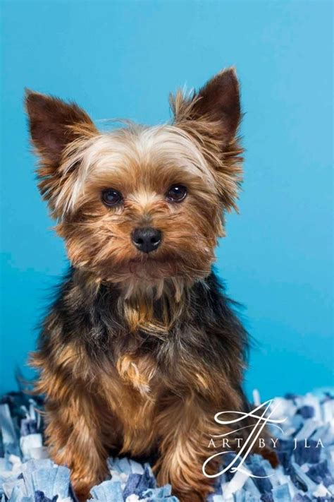 yorkie pooping in house pin by dollard on h e l p baton terriers and