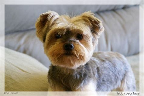 teddy haircut for yorkies 12 best images about morkie haircuts on morkie puppies for sale