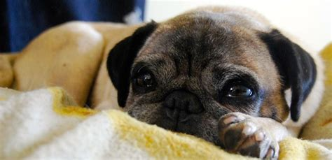 pug rescue stories 5 years 300 pugs rehomed the story of pug rescue adoption petrescue