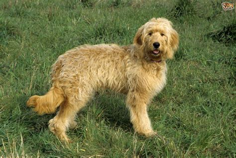 Goldendoodle Dog Breed Information, Buying Advice, Photos