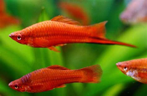 Fish Itu Ikan cara mudah budidaya ikan swordtail atau ikan pedang bagi