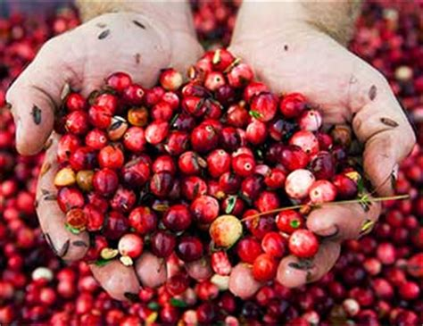 Cranberry Organic Buah Cranberry Organik 500gr one fruit two health benefits cranberries garden of