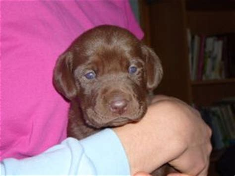 chocolate lab puppies for sale in tn labrador retriever puppies in tennessee