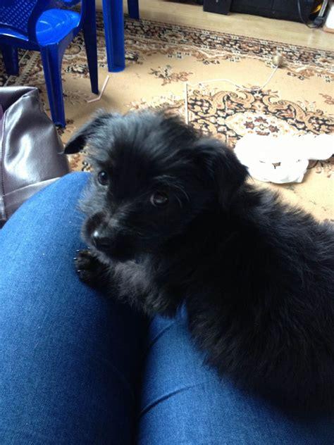 black yorkie puppy schnauzer haircuts hairstylegalleries