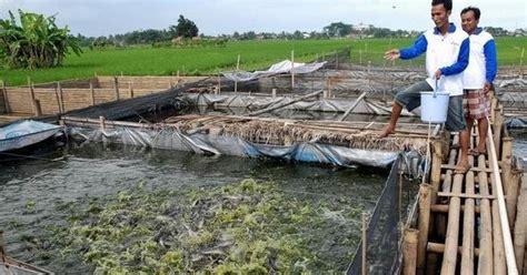 Bibit Belut Per Kg 6 tahapan praktis cara budidaya ikan lele untuk pemula