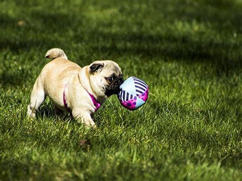 tipos de perros pugs cu 225 les las caracter 237 sticas pug mascotas perros animales mascotips