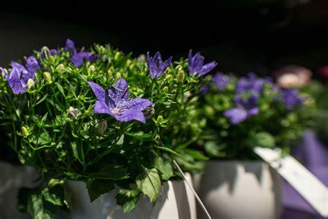 piante fiorite da interno piante verdi e piante fiorite fiorito