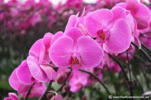 orchid flowers moth orchid flower picture flower pictures 4799