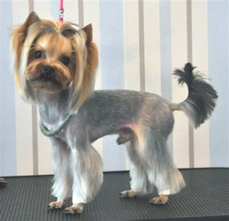 modern yorkie cuts the best yorkshire terrier grooming styles with pictures