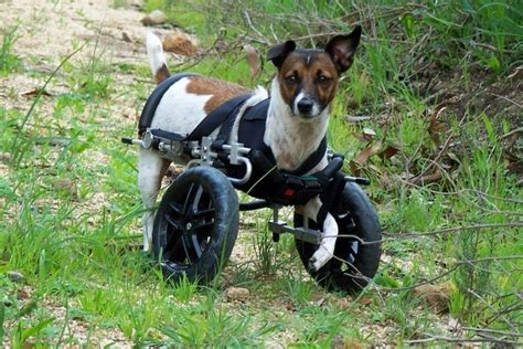 arthritis in dogs arthritis in dogs symptoms prevention treatments and care