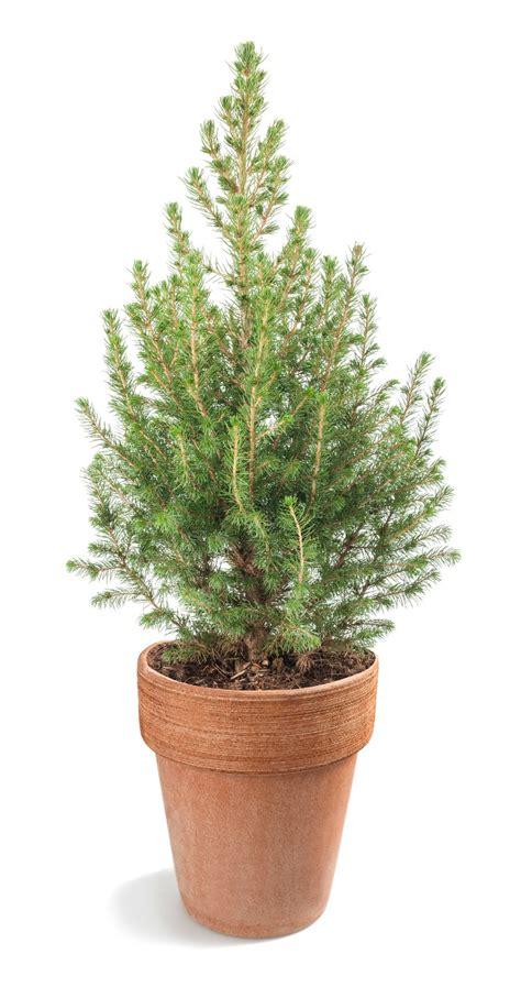 coltivare in vaso come coltivare pino in vaso