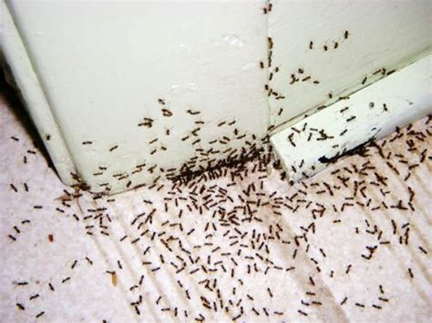 tiny ants in house ant infestation dublin ants removal treatment