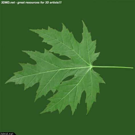 maple tree leaves free maple tree leaf texture image