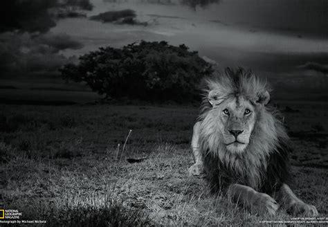 imagenes de leones guerreros fascinerande naturbilder fr 229 n hela v 228 rlden natgeo se