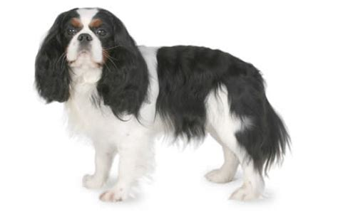 king charles breed cavalier king charles spaniel breed information pictures characteristics facts