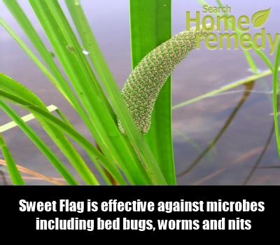 neem oil for bed bugs 5 herbal remedies for bed bugs search home remedy