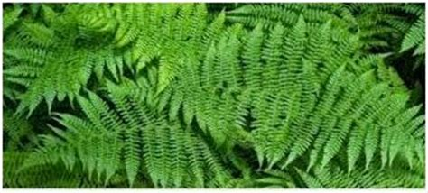 khasiat tanaman paku tanjung tanaman berkhasiat  obat