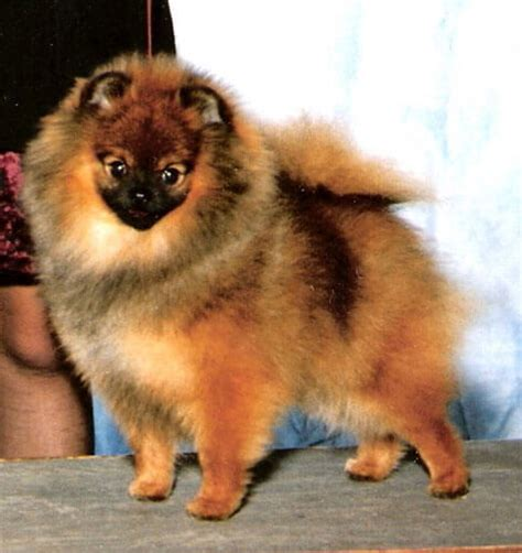 pomeranian health pomeranian breed 187 information pictures more
