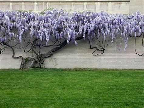 training wisteria vines to wall best 25 wisteria tree ideas that you will like on