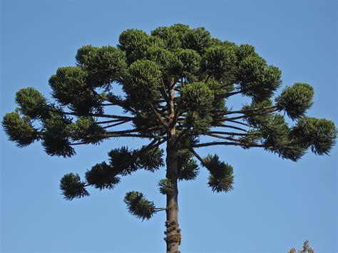 o tree aracno garden avi 227 o lan 231 a sementes de arauc 225 rias para
