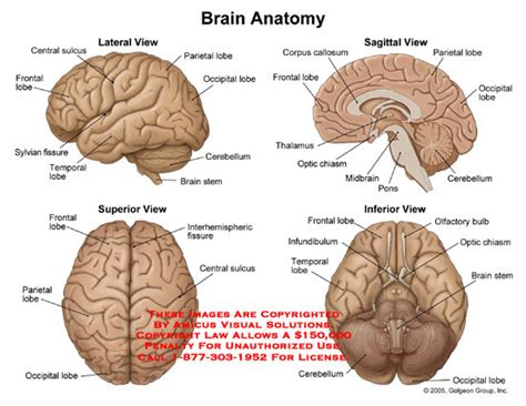 anatomy of the brain diagram brain anatomy