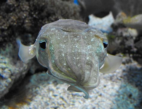 Pharaoh cuttlefish - Wikipedia
