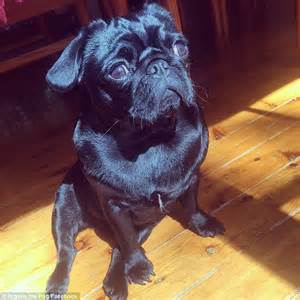 jelly the pug uk nigella the pug has 12k fans daily mail