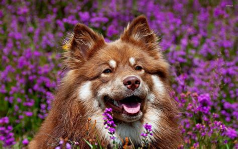 lavender on dogs in lavender field wallpaper animal wallpapers 18283