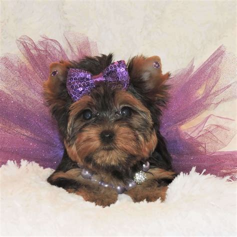 teacup yorkie terriers for sale buy teacup yorkie abigail