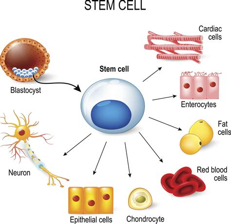 stem cells the little known advantages and disadvantages of stem cell