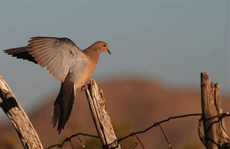 how to a to dove hunt comprehensive dove seminars to cover top spots in southern california