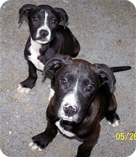 great dane puppies nj mutt great dane boxer mix breeds picture