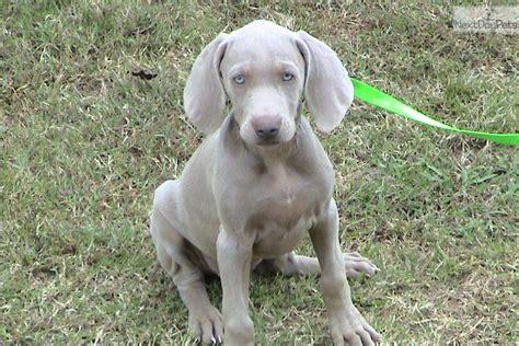 weimaraner puppy for sale pin akc weimaraner for stud 300 usd on