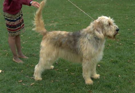 otterhound puppies for sale otterhound puppies for sale akc puppyfinder