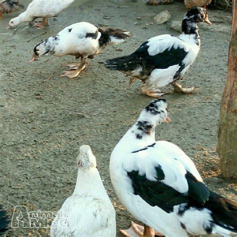 vendita animali da cortile vendita animali da cortile vendita anatra da privato a