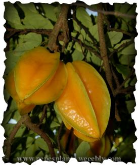 Carambola Tree Pictures