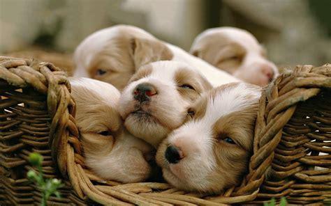 sleepy puppies puppies basket sleepy dogs wallpapers