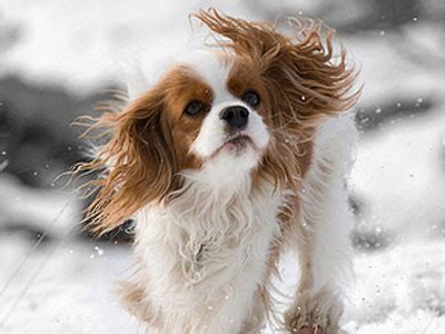 havanese vs cavalier king charles spaniel breeds list