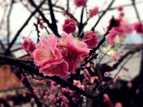 imagenes de japon para fondo de pantalla fondo de pantalla de flor rama 193 rbol cerezo sakura