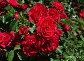 Rose Flowering Plant - summer flowers in india