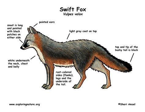 swift fox coloring page fox swift