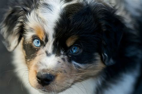 heterochromia in dogs heterochromia in dogs loveable pooches with different colored page 5 of 15