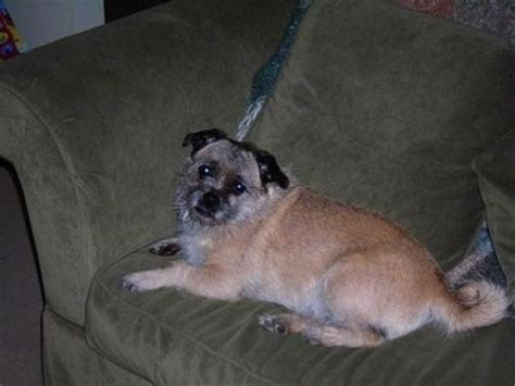 pug and cairn terrier mix pugairn breed information and pictures