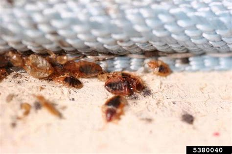 how big is a bed bug got pests