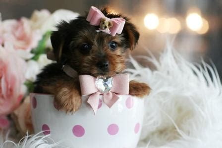 teacup shih tzu san antonio tx teacup yorkie puppies for sale in pomsky picture pomsky breeds picture
