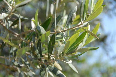olive fiori di bach olive la fleur de bach qui reconstitue votre 233 nergie vitale