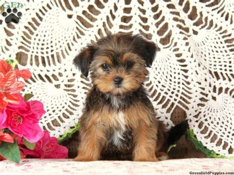 amish puppies for sale top 25 ideas about designer puppies for sale on morkie puppies for sale